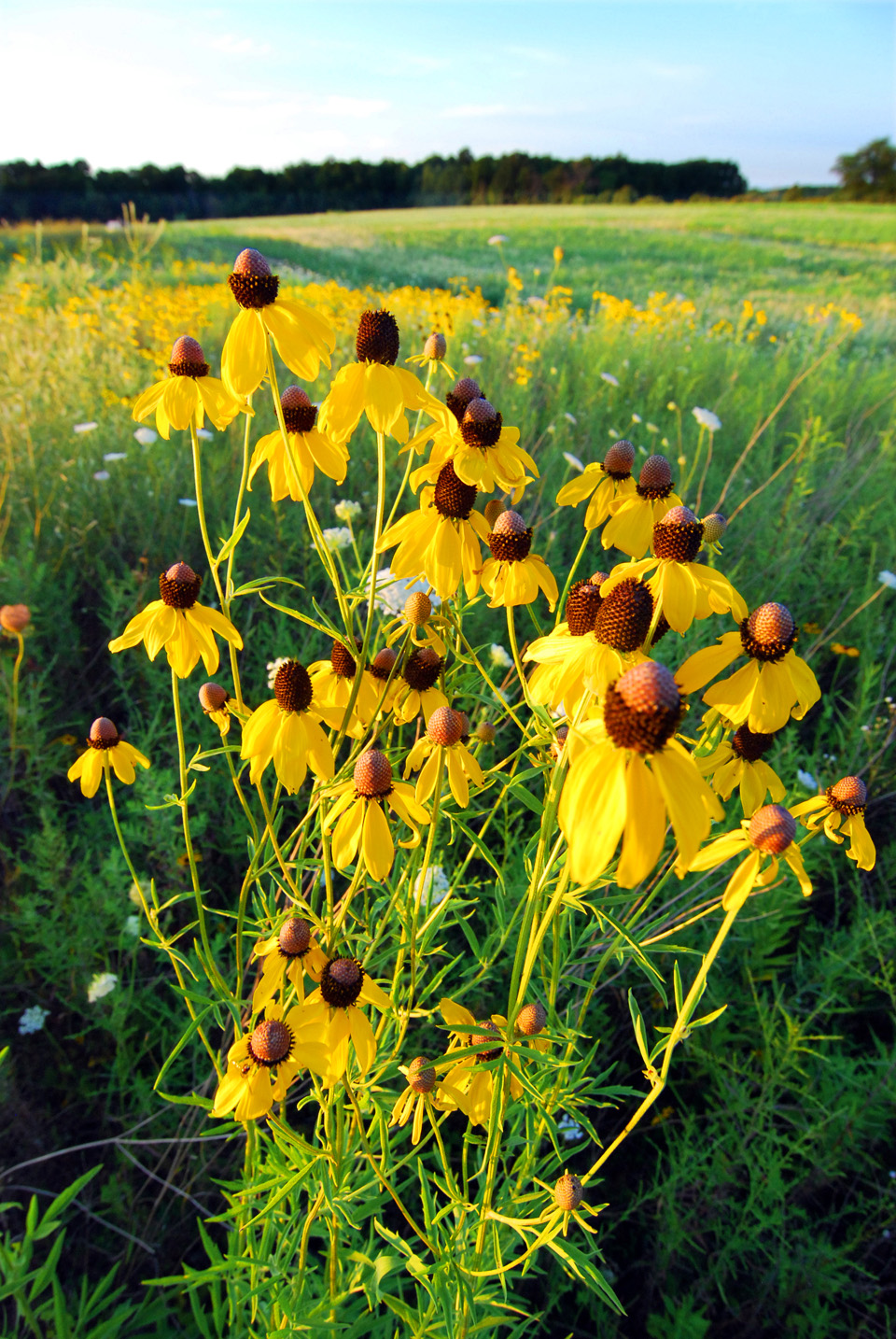 gray coneflower